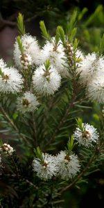 huile-essentielle-tea-tree-bio-pranarom