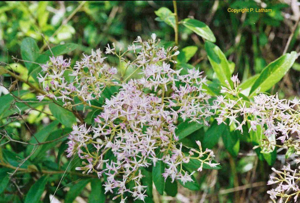 KONGO-BOLOLO : Plante tropicale aux multiples vertus !