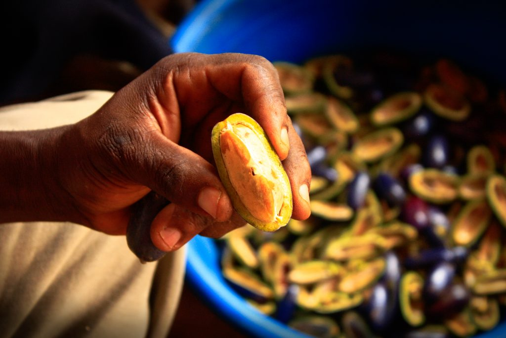 Safou seeds (Dacryodes edulis), a non-timber forest product vital to the nutrition of the population is being prepared for planting on the pilot project nurseries.    Photo by Alba Saray Pérez Terán/CIFOR   cifor.org blog.cifor.org If you use one of our photos, please credit it accordingly and let us know. You can reach us through our Flickr account or at: cifor-mediainfo@cgiar.org and m.edliadi@cgiar.org