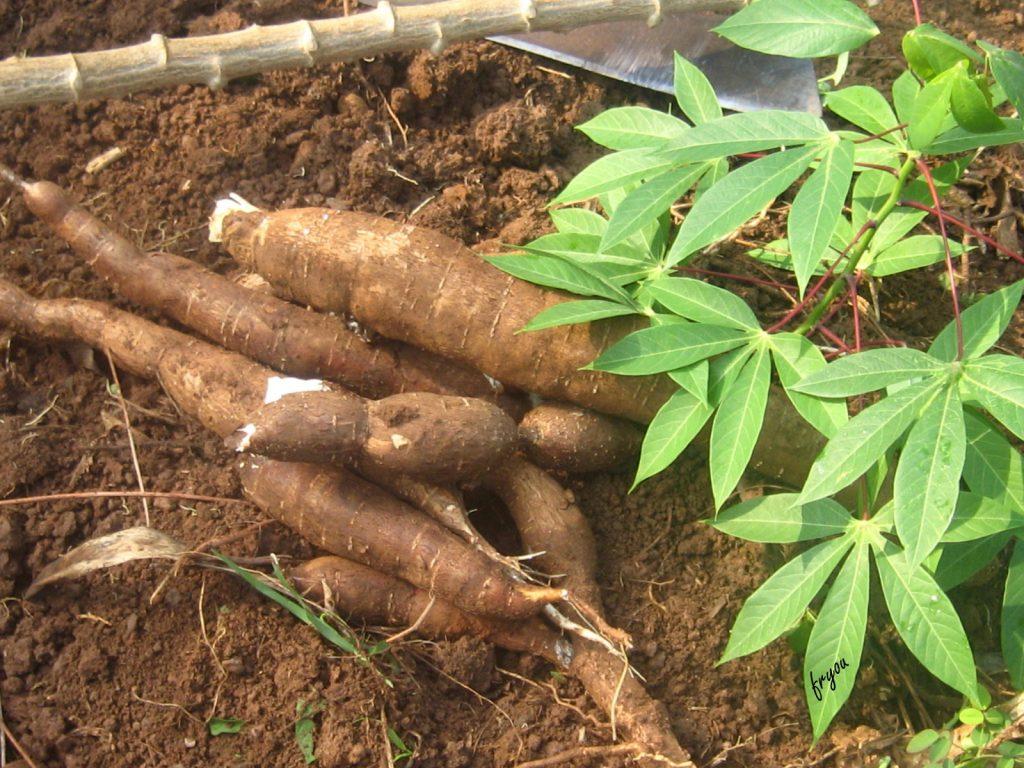 MANIOC : «Je suis noir mais j'aime le manioc»