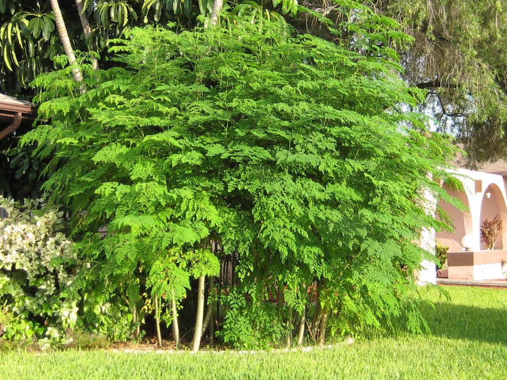 MORINGA : L'arbre de vie